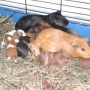 seis cerdos bebé de indias para la venta