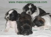 Cachorros de shih tzu tricolor
