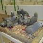 Loros Sanos, pollitos y huevos fértiles para la venta