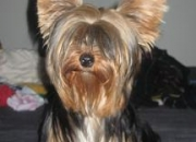 Vendo  Yorkshire Terrier Toy