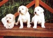 Cachorros Labrador Retriever