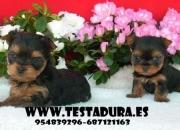 cachorritos yorkshire miniaturas garantizados