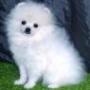 libre REGALO Pomerania cachorro a cualquier persona que pueda cuidar de