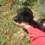 cachorros SHIH TZU con PEDIGREE