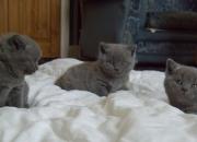 6 hermosos gatitos británicos de pelo corto