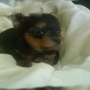 yorkshire  cachorros pequeños