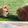 Cachorro de pomerania con pedigrí