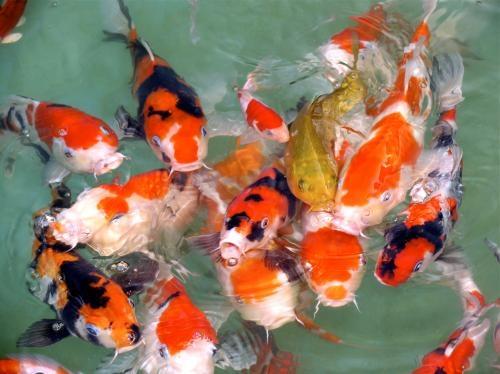 fotos de venta de peces carpas koi de cada tama o y en