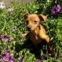 OFERTA!! Ultimo Cachorro de Mini Pinscher
