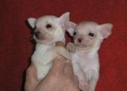Cachorritos de chihuahua de calidad