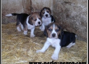 Imponentes cachorros de Beagle.