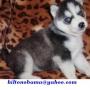 macho y hembra husky siberiano cachorros para un nuevo hogar