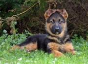Tenemos dos hermosos negro y oro perrito del pastor alemán de líneas de sangre superior a la oferta