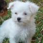 precioso cachorro de bichon maltes