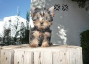 preciosos cachorros de yorkshire