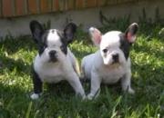 REGALO. Cachorros bulldog francés con pedigrí