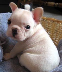 Regalo cachorro de bulldog frances de calidad linea de campeones