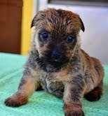 Adorable cachorro de cairn terrier listo
