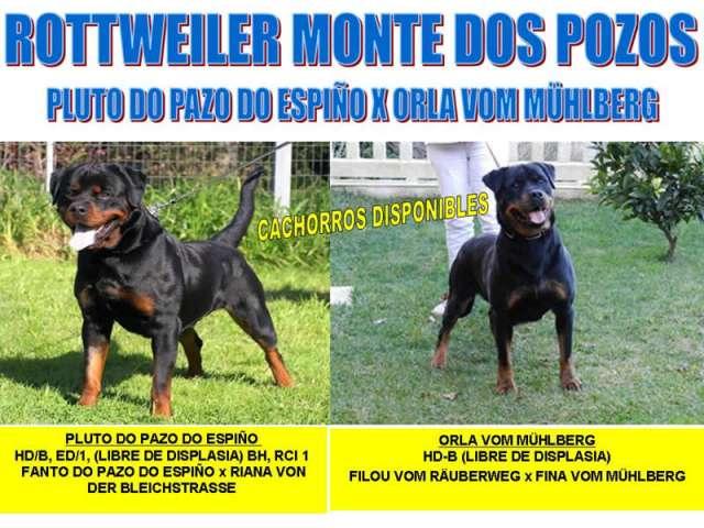 Rottweiler excepcionales cachorros para exposición y compañia