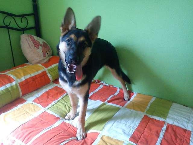 Se regala perra pastor aleman por no poder atender