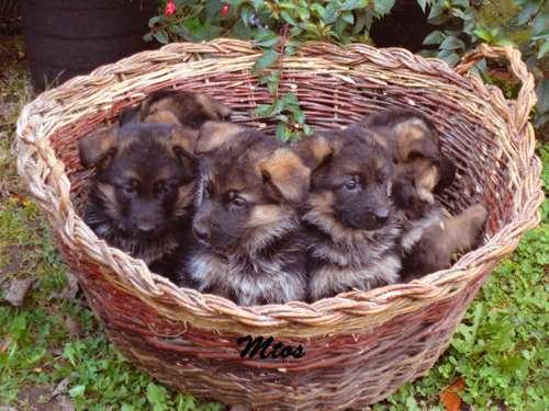 Cachorros de pastor aleman con pedigrí