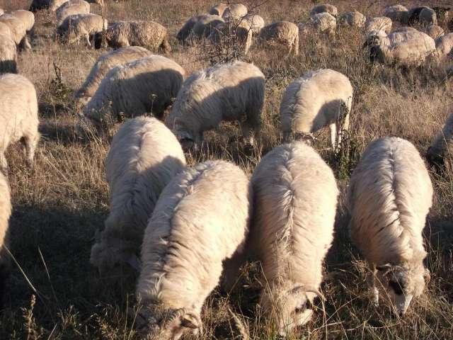 Vendo corderos turcana rumana de un medio de 30kg