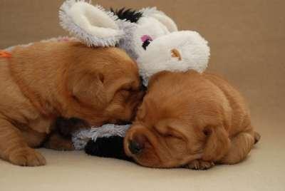 Adorables cachorros de labrador macho y hembra en busca de un hogar hermoso para pasar primera navidad