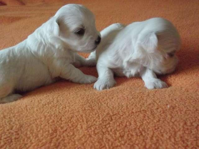 Venden cachorros preciosos de bichon maltes