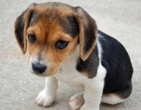 Cachorros husky siberiano para adopcion