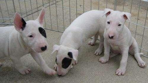 Regalo adorables bull terrier cachorros
