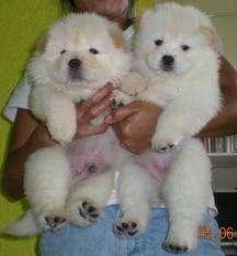 Regalo chow chow cachorros para adopcion