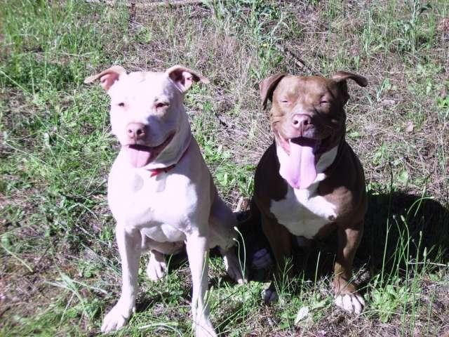 Se venden cachorros de american pit bull terrier