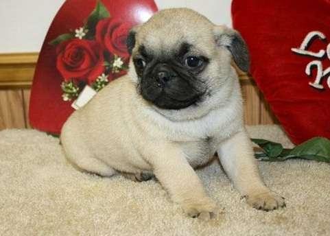 Cervatillo pug cachorro para su adopcion