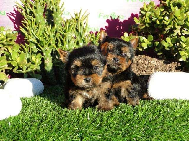 Yorkshire terrier de lineas francesas cachorros