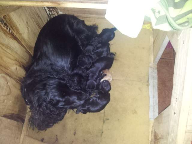 Vendo cachorros cocker spaniels negros.