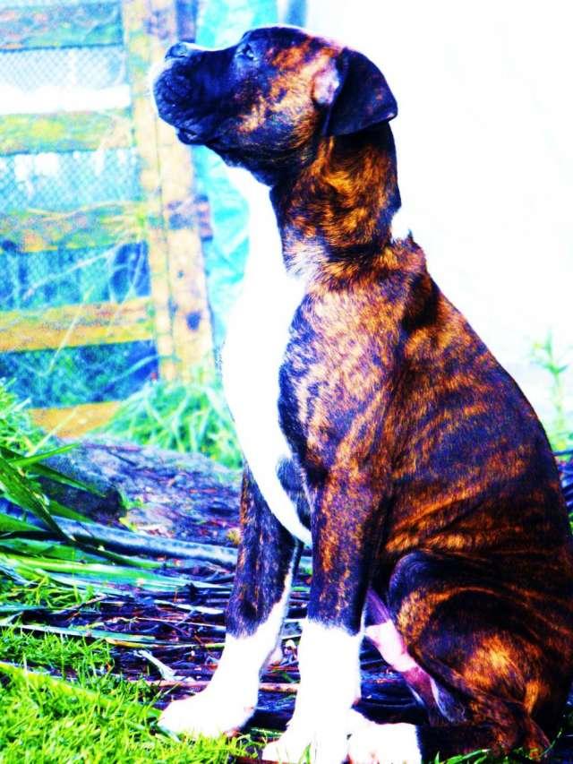 Gracioso cachorro bóxer, magnífico ejemplar