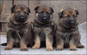 Hermosos cachorros pastor alemán para los nuevos hogares.