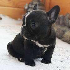 Encantadores cachorros de bulldog francés