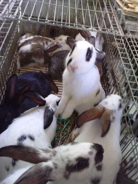 Vendo conejos baratos (cártama-málaga)
