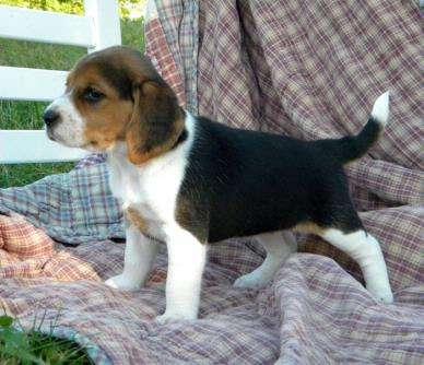 Cachorro beagle inteligente y amorosa