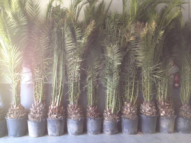 Se venden palmeras canarias a mitad de precio