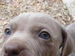 Preciosos cachorros de weimaraner