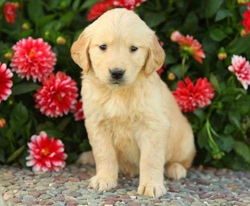 Cachorros golden retriever para la venta