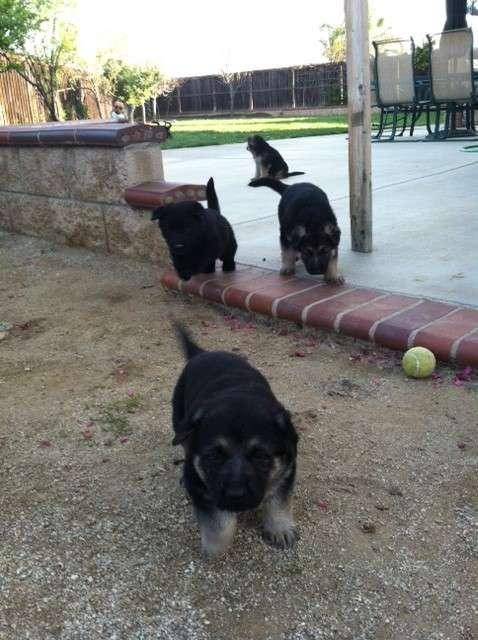 Adorables cachorros alemán machos y hembras para su aprobación a una familia por temor de dios