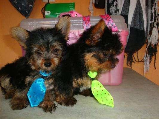 Preciosos cachorritos de yorkshire