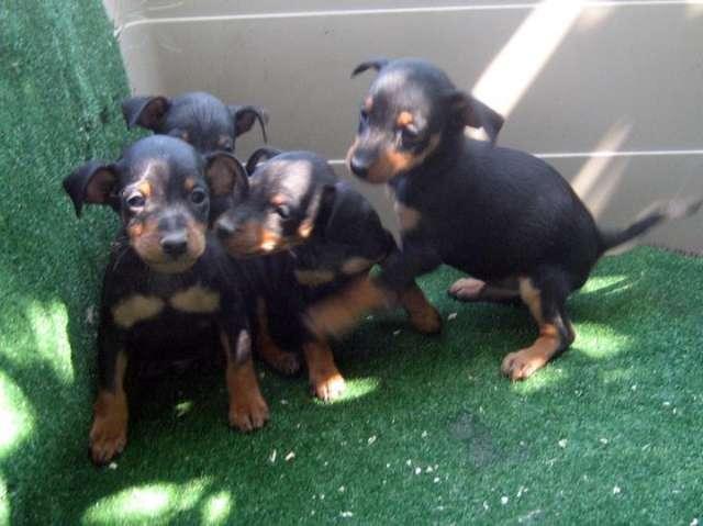 Pinscher miniatura cachorros de color negro y fuego !