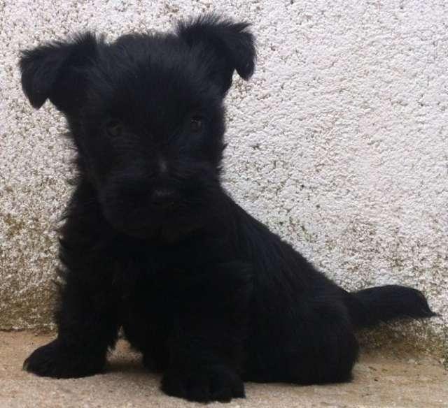 Scottish terrier, preciosa camada de linea americana