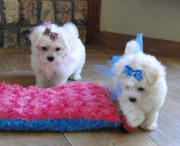 Cachorros maltés para su aprobación.