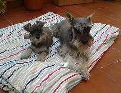 Macho / hembra schnauzer miniatura cachorros