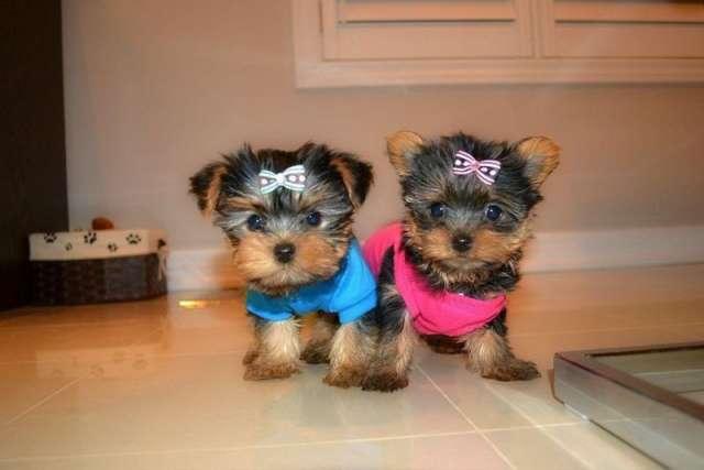 Yorkshire cachorros mini
